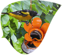 Tips to Attracting Orioles To Your Backyard!