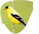 Tips to Attracting Goldfinches To Your Backyard!