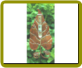 Leaf Rain Gauge Copperplated