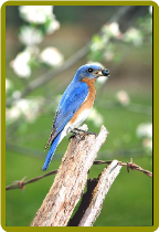 Tips to Attracting Bluebirds To Your Backyard!