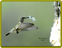 Tips on Attracting Hummingbirds To Your Backyard!